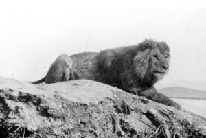 http://kimberlymoynahan.com/wp-content/uploads/2012/06/Barbary_lion-300x201.jpg